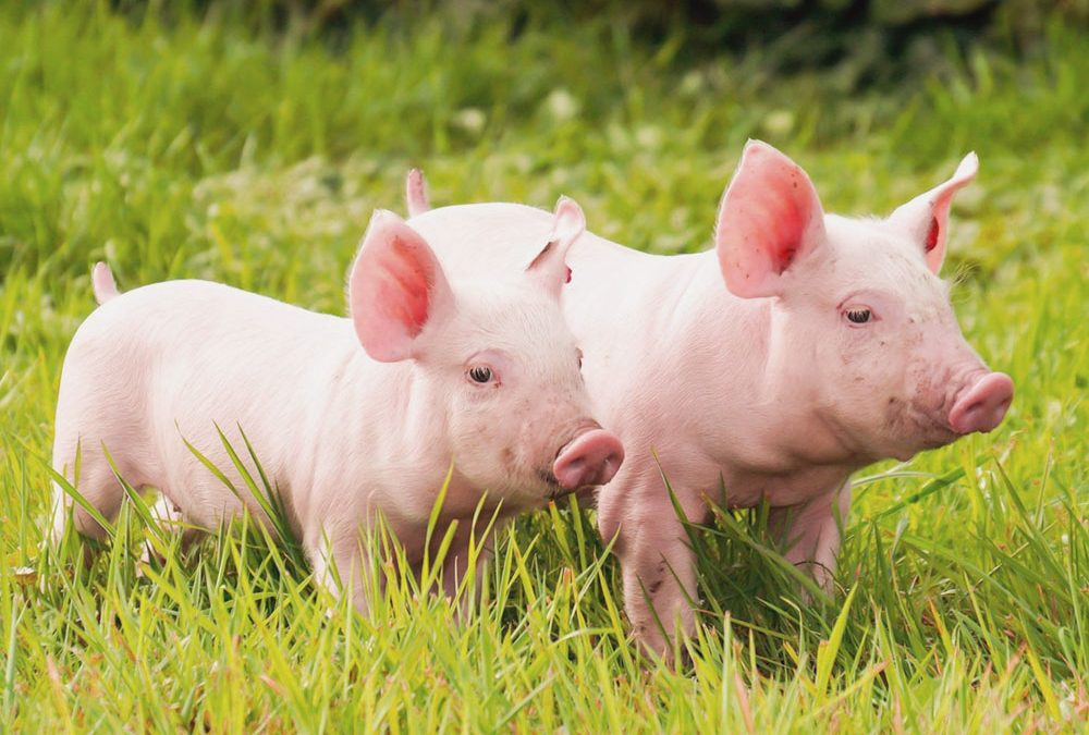 Pet Pigs – Taking Care of Your New Pig