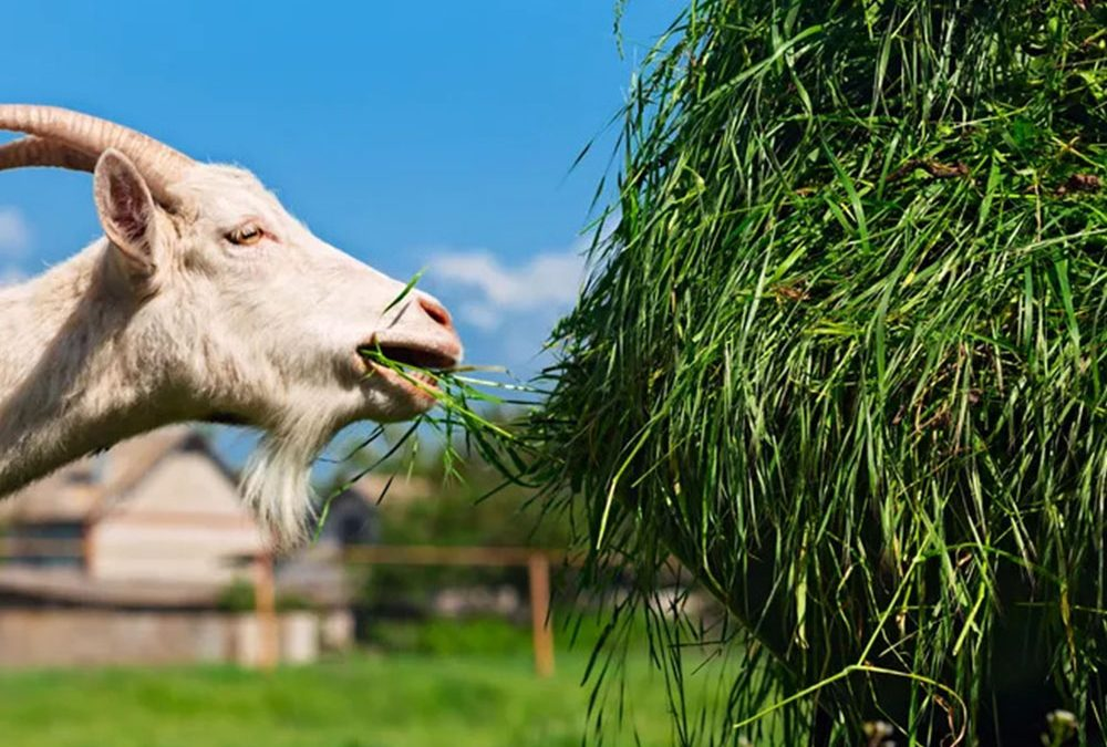 The Grazing Habits of Meat Goats