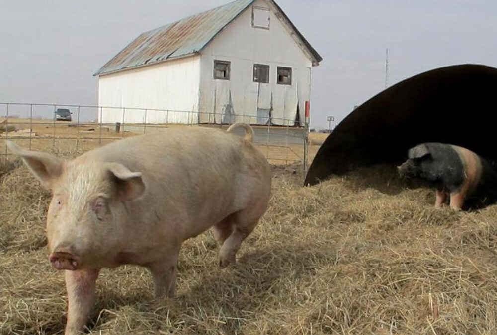 How to Get a Good Start With Raising Hogs